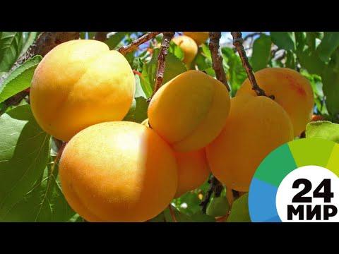 Путь армянского абрикоса: от ветки к прилавку - МИР 24