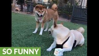 賢い柴犬、仲間からヨーグルトの空容器を鮮やかにゲットだぜ!