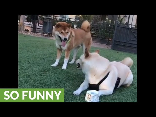 Clever Shiba Inu outsmarts friend in order to steal cup