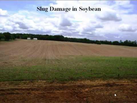Dr. Kelley Tilmon - Slug Management Recommendations In No-Till And Cover Crop Systems