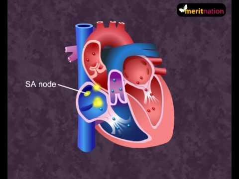 How Your Heart Works Cardiac Cycle Youtube