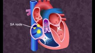 How your heart works - Cardiac Cycle (Meritnation.com)