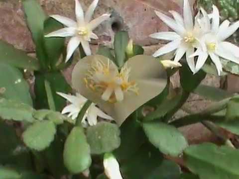 Cactus de navidad en flor 1 parte youtube for Cactus de navidad