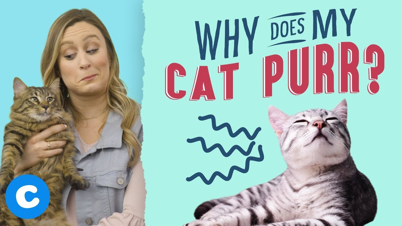 Why Does My Cat Purr Chewy Youtube