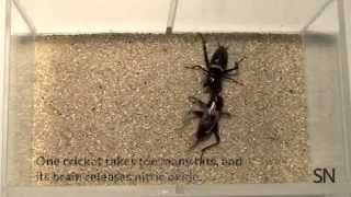 Welcome to cricket fight club | Science News