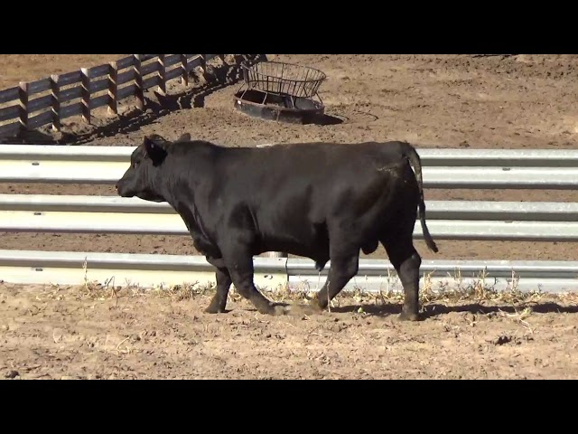 Connealy Angus Lot 126