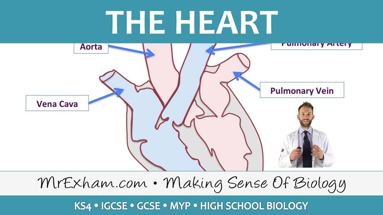 The heart gcse biology 9 1 youtube the heart gcse biology 9 1 ccuart Image collections