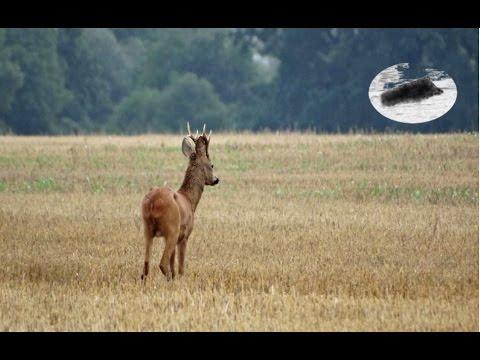 How to call in roebuck #10  Roebuck hunting Rehbock Blattjagd Chasse approche brocard
