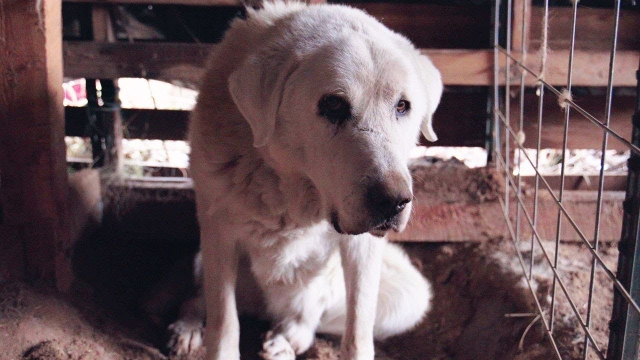 Saying Goodbye to Our Livestock Guardian Dog