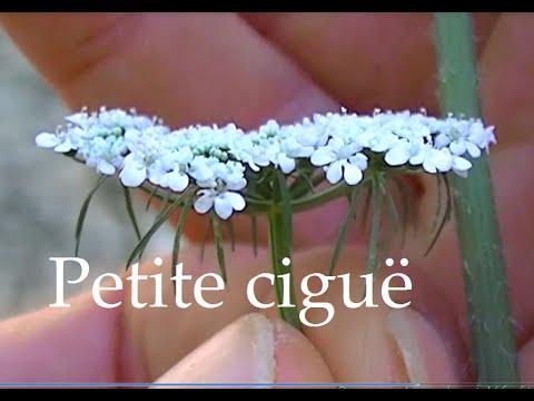 La petite ciguë comment la reconnaître, plante toxique.