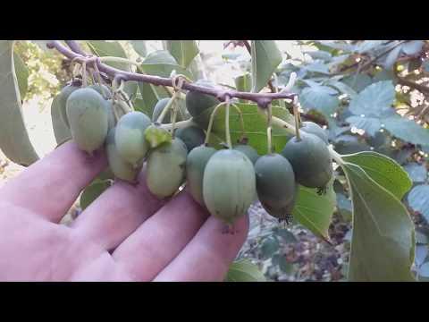 Вопрос: Какой вкус имеют плоды актинидии Похожи ли на киви?