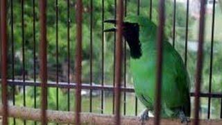 Burung Cucak Ijo Mabung Macet Bunyi