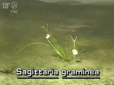 grassy arrowhead / slender arrowhead (Sagittaria graminea)
