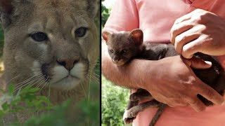 Farmer Brings Home 'Kitten' That Turns Out to Be Baby Cougar