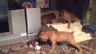 Durand Boxer Pups Crate Training
