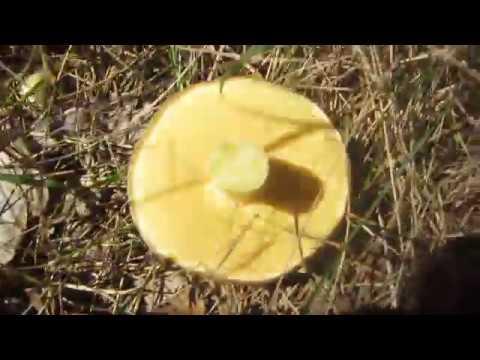 Нашёл в лесу много грибов.Моховики...маслята...
