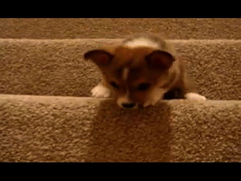 Dogs vs stairs – Cute dog compilation