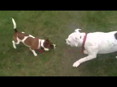 Jack Russell defends owner, kills Pit Bull!
