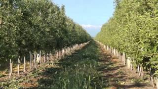 Сад яблоки, груши и сливы