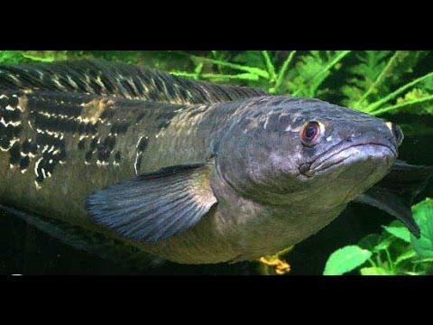 mô hình nuôi cá lóc bông