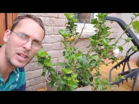 Pruning Tropical Hibiscus 2013 Youtube
