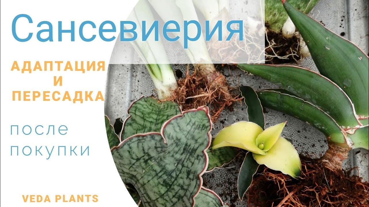 Сансевиерия, адаптация и пересадка после покупки из магазина. Адаптация голландских растений.