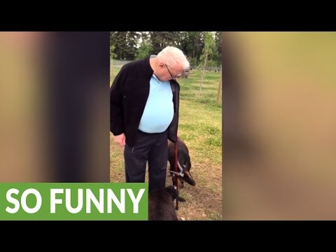 Goat completely obsessed with old man's cane