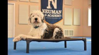 Murphy (Old English Sheepdog) Puppy Camp Dog Training Video Demonstration