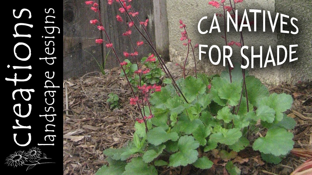Top 3 California Native Plants For Shade. Creations Landscape Designs