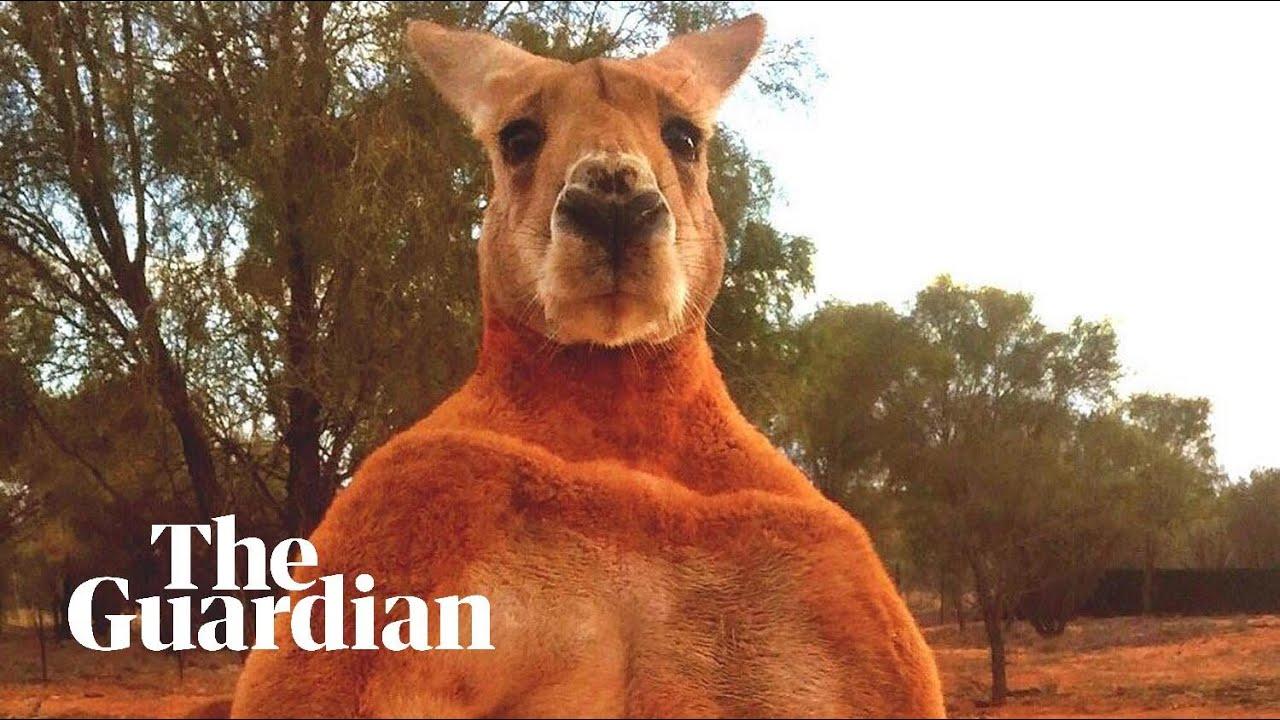 Remembering Roger the ripped kangaroo