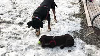 Greater Swiss Mountain Dog VS Field Spaniel