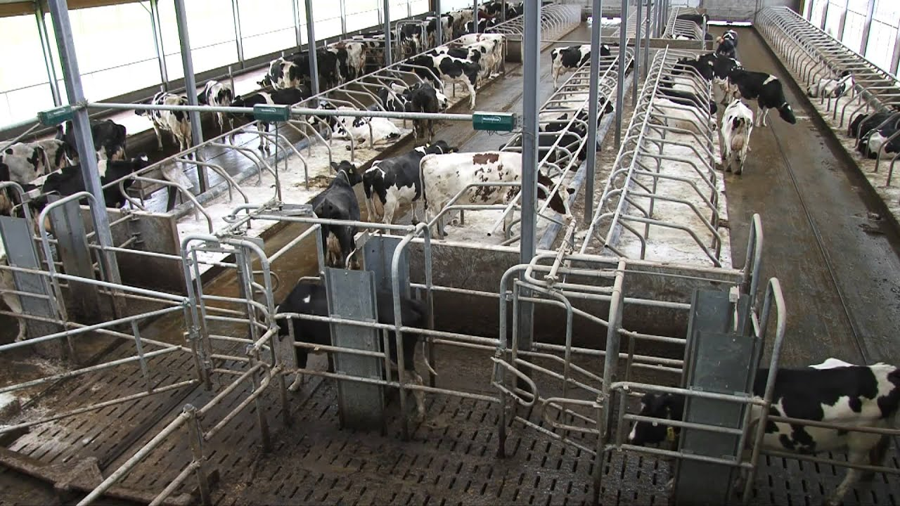 Melkveebedrijf Verstraten Met Brainstallen En MIone