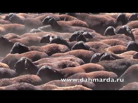 видео: Гиссарские овцы дахмарда Зафара из селения Сугдиен