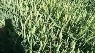 пшеница ДАГМАР(лимагрейн)с одним дождем