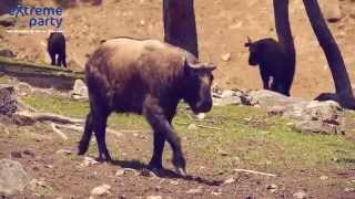 Такин - национальное животное Бутана - редкий зверь в Гималаях