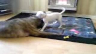 Bullmastiff V American Bulldog X Boxer