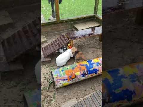konijnen genieten van de groenteketting