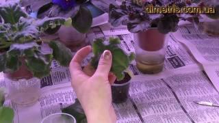 Посадка  листьев фиалки. Размножение фиалки.