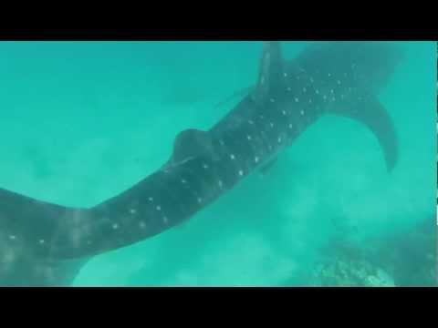 Shark Whale 4 Ynet HD - Eilat Mar 2013