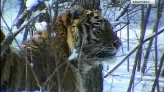Вести-Хабаровск. Тигр Упорный перезимовал успешно