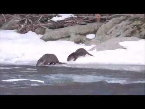 Vydry na lovu - Videolovy - Life in nature