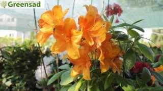 Азалия листопадная (крупноцветковая) - видео-обзор от Greensad(Азалии представляют собой настоящее украшение для сада - они завораживающе красивы в период цветения и..., 2013-06-29T14:21:21.000Z)