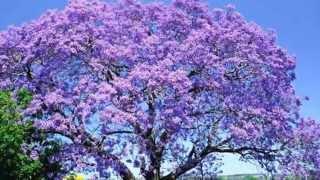 239 lk phuong tim uc chau jacaranda australia hd