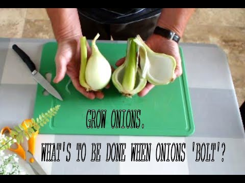 HGV Grow Onions  What's to be done when Onions 'bolt'? Experiment Start to Finish
