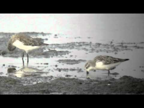 WWT: Spoon-billed sandpiper footage by David Sibley
