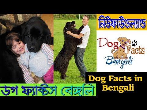 Newfoundland dog facts in Bangla | Giant Dog | Dog facts Bengali