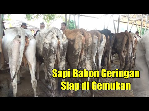 Silahkan Pilih ! Review Harga Sapi Babon Geringan Siap Di Gemukan Pasar Hewan Siyono Harjo Gunungkid