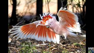 Какаду инка ( Cockatoo Inca).