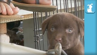 Adorable Chocolate Lab Puppy VS. Foot - Puppy Love