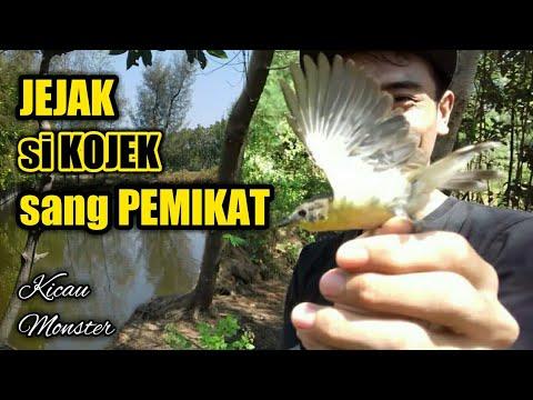 Download Lagu MEMIKAT BURUNG REMETUK LAUT di Tambak Bandeng